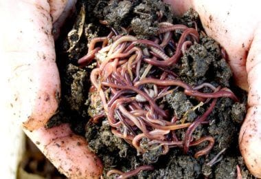 compost with earthworms