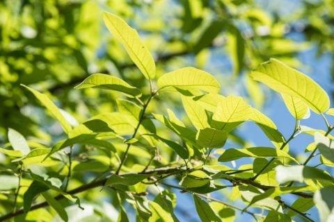 monterrey oak leaves in spring jg thompson