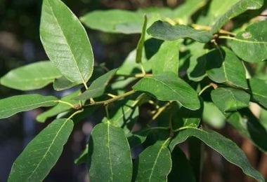 Mexican White Oak Leaves sm